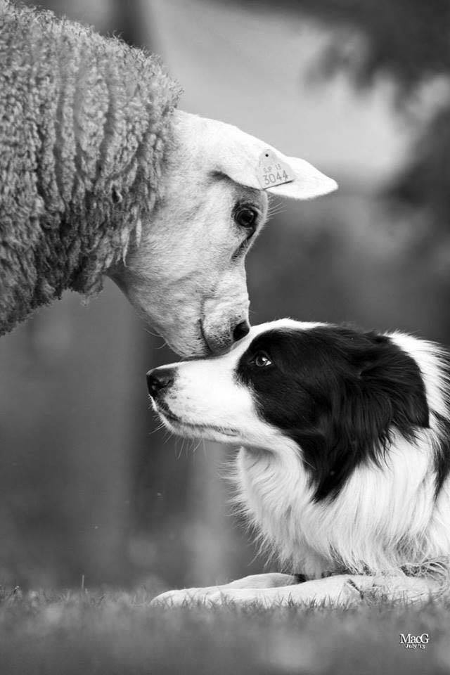 Apresentação de cães de pastoreio, dia 15